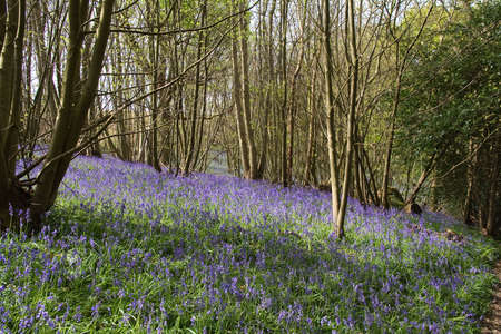 Bank in Sussex woodland, covered with spring blue-bells Stock Photo - 3001215