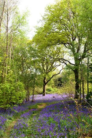 Springtime in England - woodlands carpeted with bluebells Stock Photo - 3001216