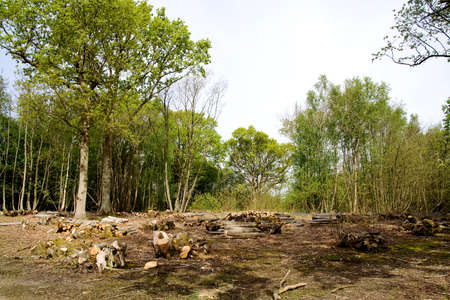 Woodland clearing with chestnut logs and first signs of bluebells Stock Photo - 3001212