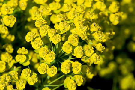 Euphorbia plant looking sunny regardless of the weather Stock Photo - 3018067