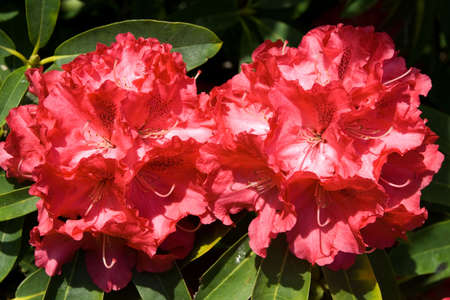 Two large blossoms of rhododendron 'Ruby Wedding' Stock Photo - 3018072