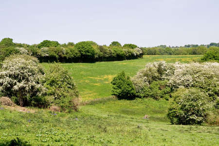 Springtime valley of hawthorn bushes and buttercups Stock Photo - 3039947