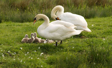 Very young cygnets with parents on river bank
