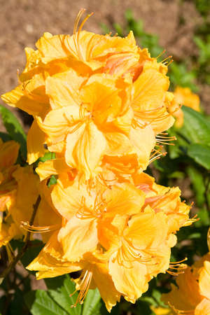 Spray of bright yellow-orange azaleas in full bloom Stock Photo - 3089343