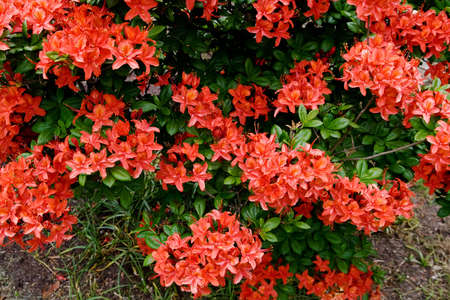 sprays of flowers of a red azalea bush providing a textured background Stock Photo - 3089346