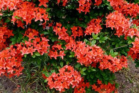 sprays of flowers of a red azalea bush providing a textured background Stock Photo - 3089346