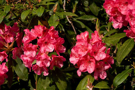 Blowsy pink rhododendron flowers just starting to go over but still luxuriously opulent Stock Photo - 3089344