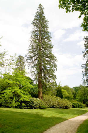 Path leading past very tall tree emerging from banks of flowering bushes Stock Photo - 3089345