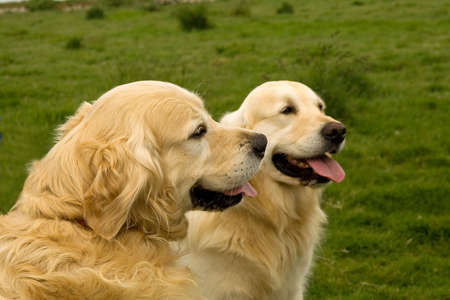 Two golden Retrievers, one more curly and longer haired than the other, sitting patiently