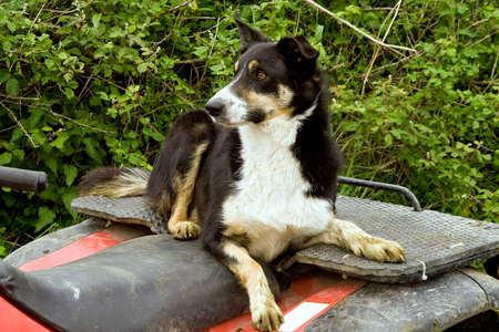 Obedient Border Collie lying atop a tractor, watching and awaiting an order Stock Photo