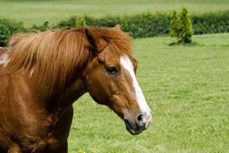 gelding: Head & shoulders of a chestnut gelding