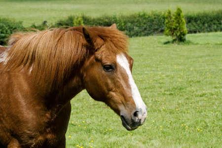 gelding: Head & shoulders of a chestnut gelding