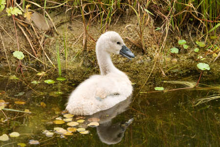 Single Cygnet, about 5 weeks old, swimming towards the bank. His wing feathers are starting to show