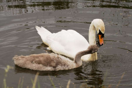 Cygnet taking food from the beak of a parent