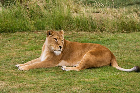 Lioness relaxing in the sunshine on recently mown grass