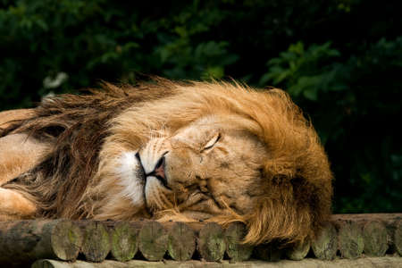 Head of a lion, sleeping in the sunshine photo