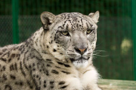 A snow leopard looking regally into the middle distance
