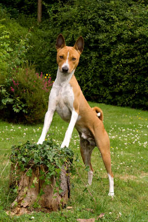 Hound posing with feet on a tree stump covered with ivy