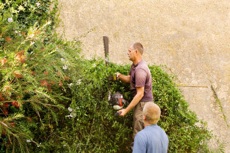 bush trimming: Trimming a vigorous climbing plant with a long bladed hedge cutter - the workmans hand is vibrating with the machine