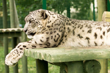 Snow-Leopard or ounce pondering his next move photo