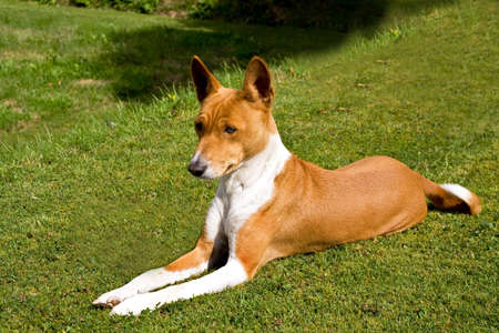 Basenji relaxing on lawn in the evening sunshine
