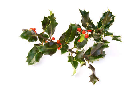 sprigs of shiny, dark green holly & red berries Stock Photo - 3656263