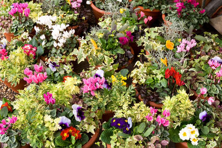 polyanthus: Profusion of brightly colored flowering plants for gardens and as -plants