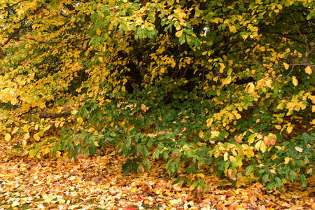 boughs: Fallen leaves laying beneath boughs of a low beech hedge