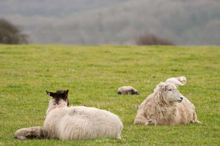 ovine: Family of sheep resting on a grassy hillside overlooking a valley