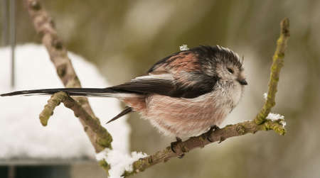 Long Tailed Tit in cold weather with snow on his back