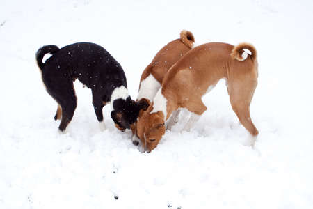 three dogs digging in deep snow photo