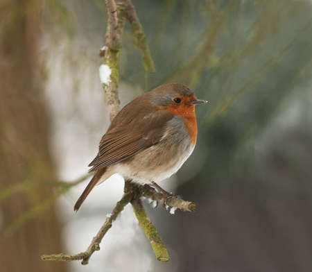 miserable: robin looking hunched up and utterly miserable in the cold