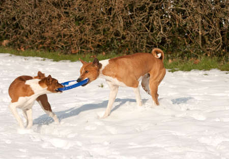 two hounds playing tog o war in the snow with a frisbee