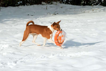 striding: Hound puppy striding across the snow with a frisbee in her mouth