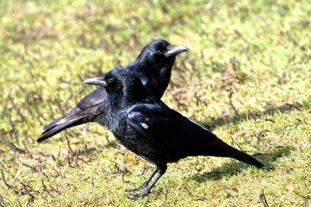 carrion: two carrion crows looking in opposite directions Stock Photo