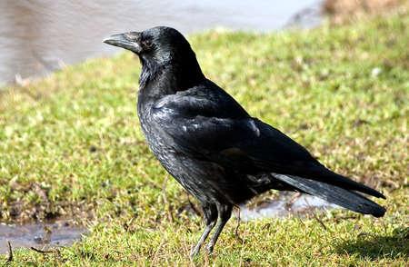 carrion: Black carrion crow beside pond