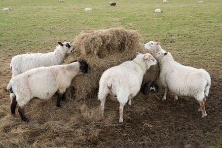 ewes: Sheep feeding from hay piled onto a cart and stood in a field Stock Photo