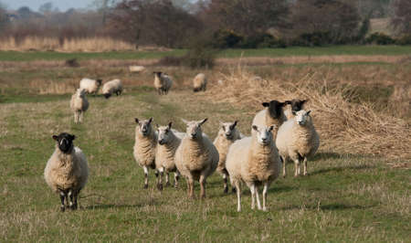 Several ewes in a field, there ware lambs in the background� photo
