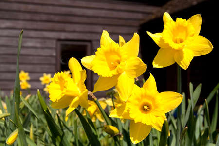 Huge flower-heads of bright yellow daffodills Stock Photo - 4518570