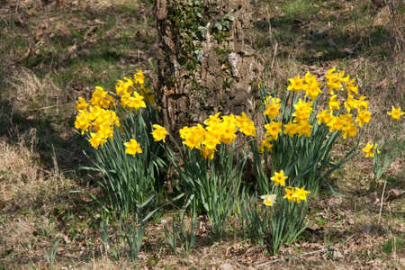 bole: Spring daffodils surrounding the ivy covered bole of a tree Stock Photo