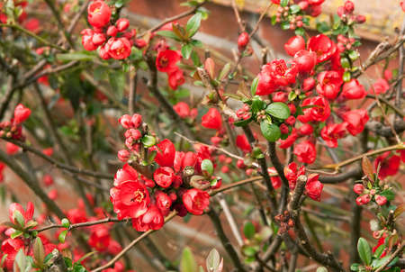 Flowering Japonica or Chamomeles against a red brick wall Stock Photo - 4575993