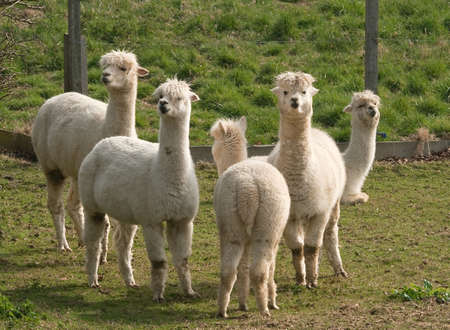 Llamas watching the camera, one is turning her back