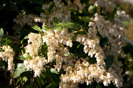 bracts: Sunlight shining on bracts of creamy white flowering pieris Stock Photo
