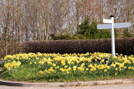 kerb: village traffic island with spring flowerin daffodils & narcissus