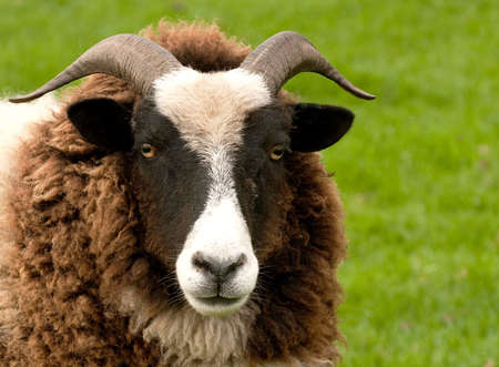 close-up of head and face of a Jacob Sheep photo