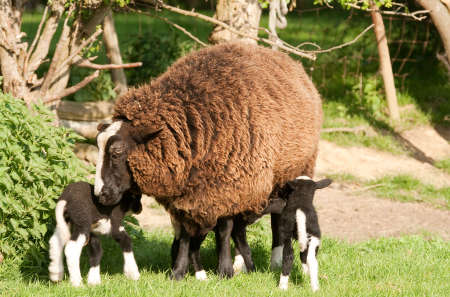 Mother with triplets, purebred Zwartbles Stock Photo