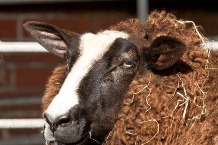 ovine: Zwartbles head - the sheep also needs to be sheared
