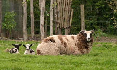 Jacob Ewe with twin lambs behind her on the grass photo
