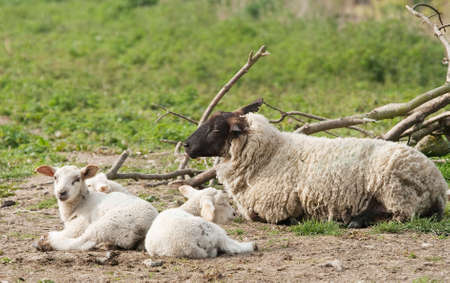 ovine: Mother sheep with very young triplets