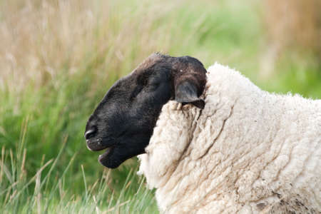 ovine: Head and shoulder of a suffok sheep showing dense wool Stock Photo